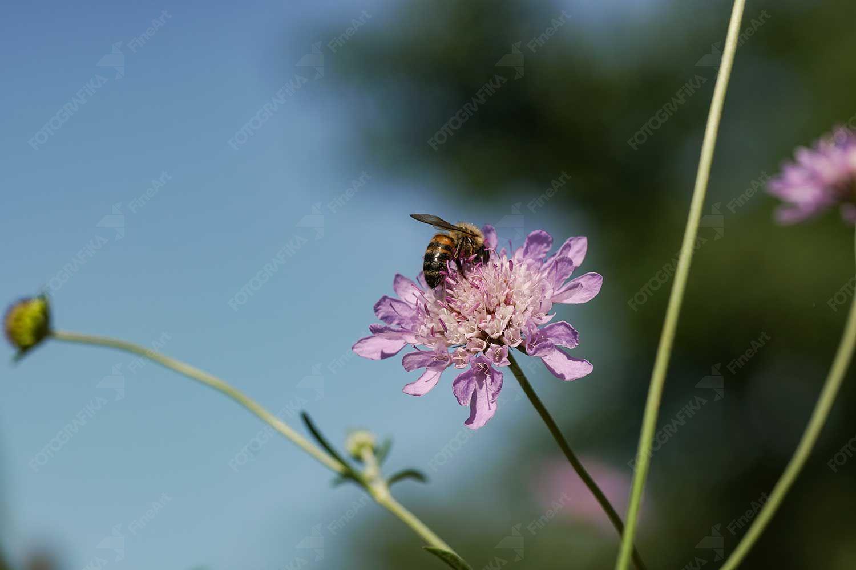 Bal Arısı ve Çiçek